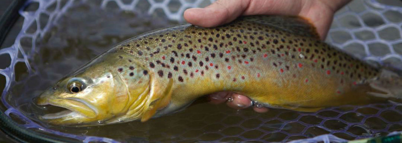 Beautiful Brown Trout caught with Iron Bow Fly Shop